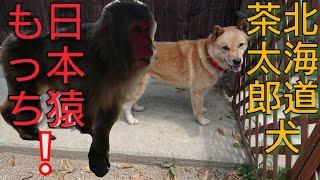 日本猿の♀モッチ   北海道犬♂茶太郎くん   可愛いね(๑´ω`๑)♥ Japanese m...