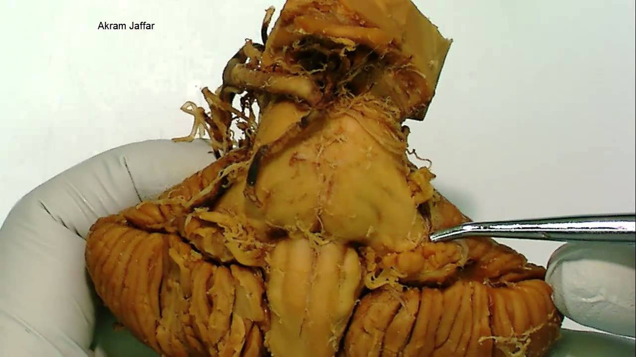 Cerebellum - gross anatomy - YouTube