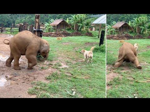 Baby Elephant Slips While Chasing Dog