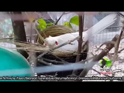 ฟาร์มนกกรงหัวจุกแฟนซี PST.Farm นกกรงหัวจุกเผือก นกกรงหัวจุกโอนวัลติน สายแข่ง