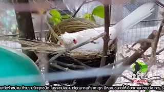 Repeat youtube video ฟาร์มนกกรงหัวจุกแฟนซี PST.Farm นกกรงหัวจุกเผือก นกกรงหัวจุกโอนวัลติน สายแข่ง