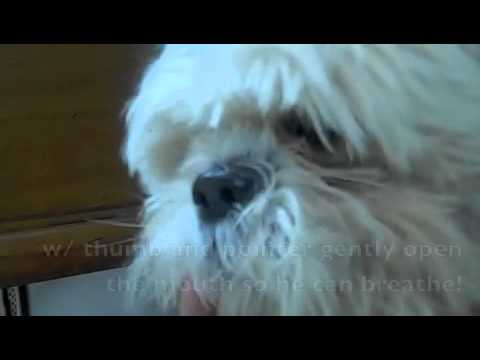 dog asthma attacks