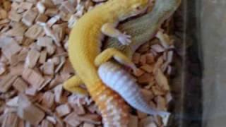 R.A.P.T.O.R Male and Leucistic Female Leopard Geckos Breeding