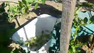 Черенкование.Размножение голубики зелеными черенками