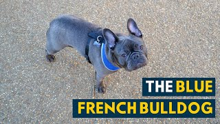 Blue French Bulldog: Everything You Need to Know About the Adorable Frenchie!
