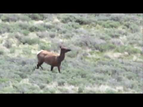 Roosevelt Elk - Yellowstone National Park - near Chittendon Road