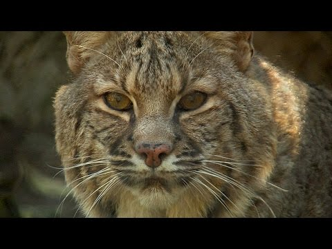 Bobcat City - Studying Urban Cats - Texas Parks and Wildlife [Official]