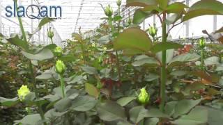 Slaq am Հայաստանում աճում են ավելի գեղեցիկ հոլանդական վարդեր քան Հոլանդիայում