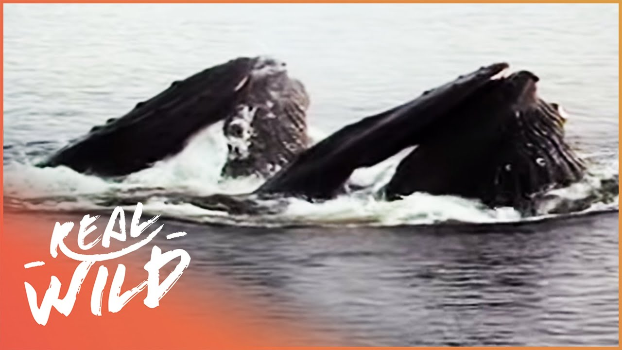 Humpback Whale Survives Without Food For 4 Months | Amazing Animals | Wild Things Documentary