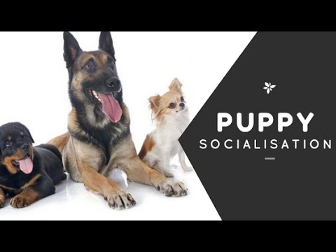 Puppy Socialisation Whiteboard Video by Dog Matters