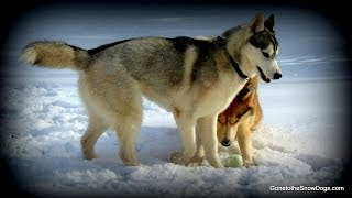 Siberian Huskies In The Snow *snow Dog Short 17*