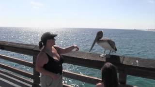 Pelican attacks child! Okay, mildly. Warning! Bird attack! On Balboa Pier, California.