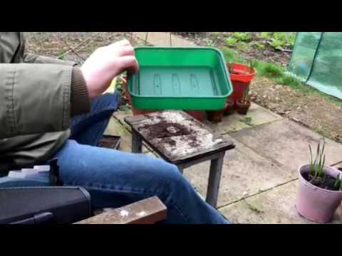 Pete's Garden Unedited: Sowing Tomatoes, Gherkins, Leeks, Zinnias & Gypsophilia