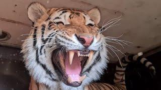 Тигр Ройс очень напугался Tiger Royce Was Very Scared