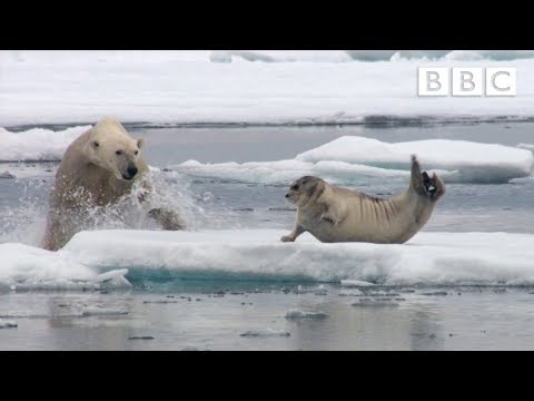 Hungry polar bear surprises a seal - The Hunt: Episode 2 Pre