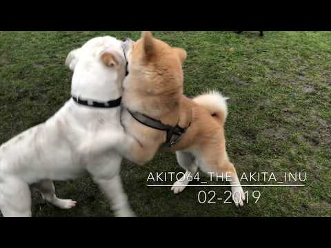 Akita vs American Bully - Akita play with American Bulldog Bully Puppy Dog 4K