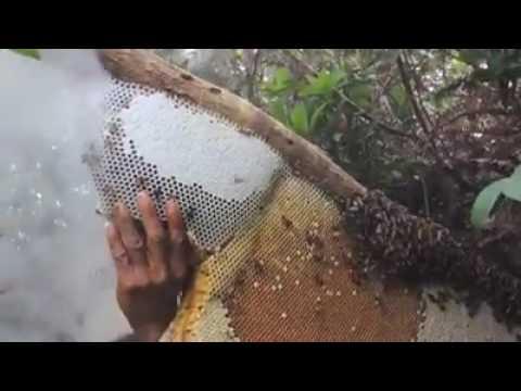 Wild honey hunting