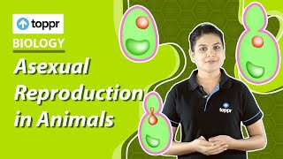 Class 12 Biology: Asexual reproduction in animals | Reproduction in organisms (CBSE/NCERT)