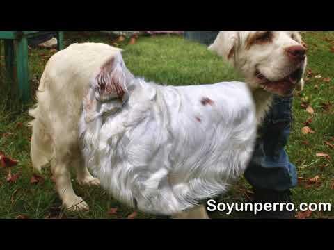 Raza Clumber Spaniel - Características y cuidados recomendados