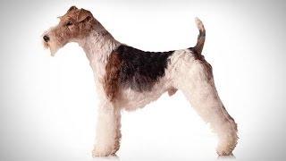ABC Canino  Fox Terrier de Pelo Duro  legendado português.