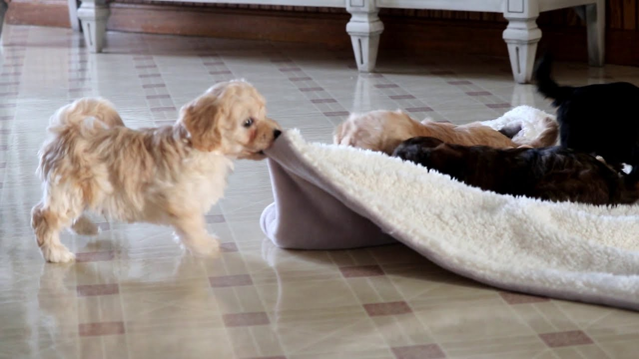 Hugs Havapoo Puppy For Sale Keystone Puppies
