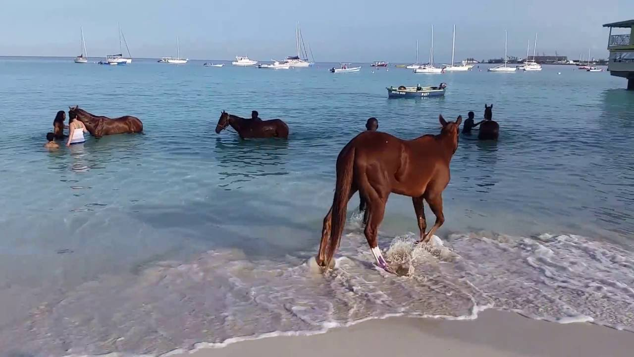 Bathing Horses At Pebbles Beach Barbados