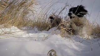 Field Bred English Springer Spaniel