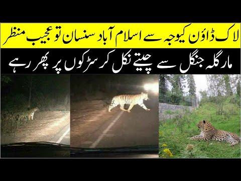 Tiger Seen On Roads Of Islamabad II Margalla National Park Sy Cheeta Nikal Kar Sarak Par Aagya