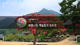 나는 정원사다 배롱나무 전지작업 배롱나무관리 백일홍 가…