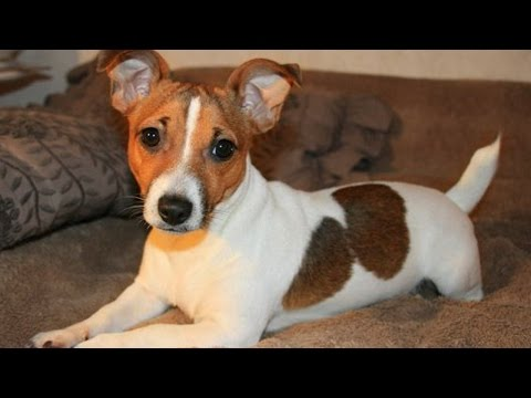 Thumbnail: Funny Jack Russell Compilation