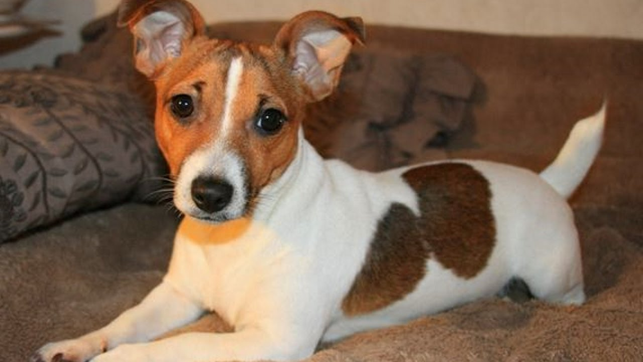 Jack Russell Training Tricks for Your Pet