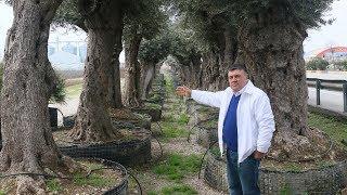 Yakacak olmaktan kurtardığı zeytin ağaçları gelir kapısı oldu