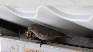 Гнезда птиц у меня во дворе. Зарянка.
