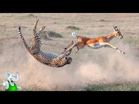 Гепард в Деле / Гепард против Зебры, Страуса, Антилопы
