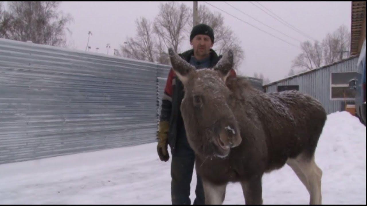 Пуговка ищет приют: в Кемеровской области спасли лосёнка с простреленной ногой