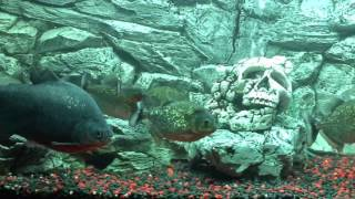 Super Aggressive Feeding  Red Belly Piranhas with Pacu
