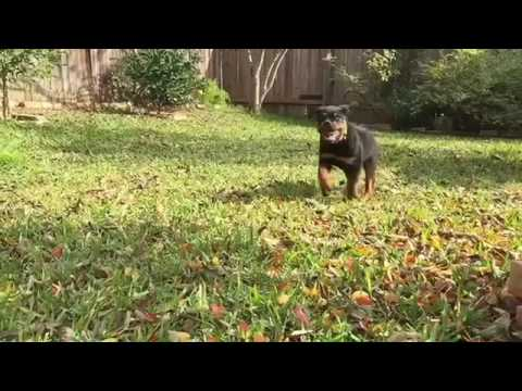 Rottweiler Puppy Running In Slow Motion Youtube