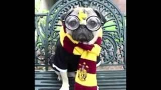 Crazy Pug Costumes!!!