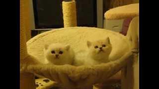 Британские котята 8 9262242365