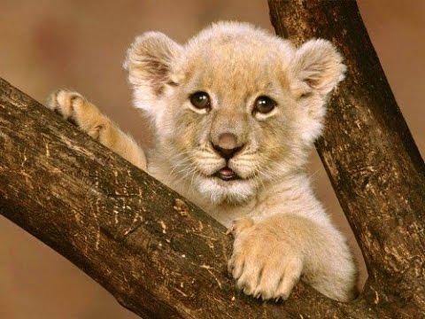 Documentary lion: Cute