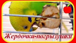 Жердочки-погрызушки,веточки для попугая//Уход за попугаем