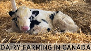 What Happens to Bull Calves on our Dairy Farm?