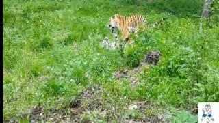 Руководство сафари-парка поздравило тигра Амура с первым сексом