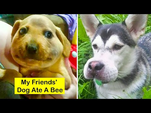 Funny Dogs Stung By Bees