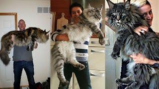 Gato Maine Coon O Gato Gigante Que Gosta de Agua