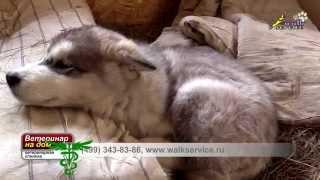 Энтерит у собак(Энтерит – воспалительное заболевание тонкой кишки. В СССР эту болезнь впервые зафиксировали в 1980-х и тогда..., 2015-11-09T22:05:23.000Z)