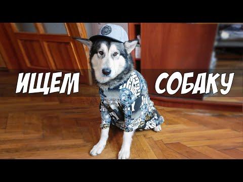 ПОТЕРЯЛСЯ Аляскинский Маламут Майк! Украли Собаку?