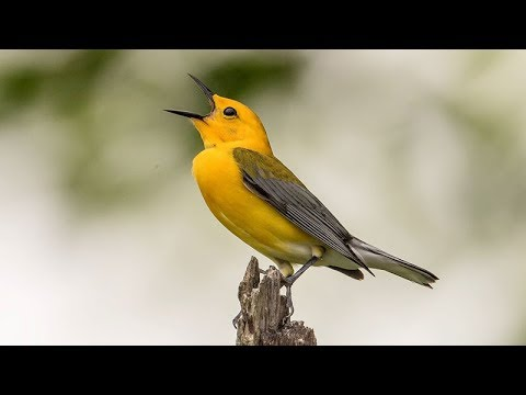 Koyal bird voice ringtone