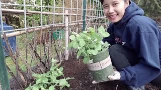 Trộn đất chuyển cây cà chua, trồng đậu hà lan, thăm lại vườn cây, Washington