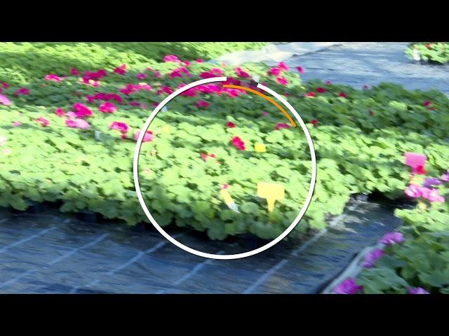 Février/Mars : Ça pousse toujours au Point Vert : les géraniums en février 2020